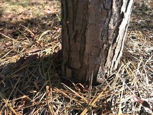 Acacia Acuminata Narrow Phylode Bark Per 500 Grams Ebay