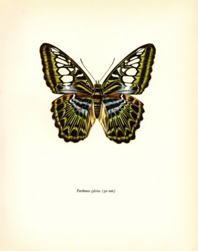 "1963 Vintage PROCHAZKA BUTTERFLY /""THE CLIPPER SYLVIUS/"" COLOR offset Lithograph"