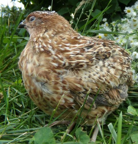 RARE Pansy Coturnix Quail Hatching Eggs By Myshire 50 This Is A MUST HAVE!