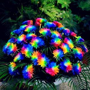 200-pieces-graines-Rainbow-Chrysantheme-Plantes-Bonsai-vivace-fleurs-maison-jardin