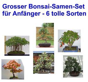 i-grosser-Bonsai-Einsteiger-Set-i-Samen-Saatgut-6-leicht-zu-ziehende-Sorten