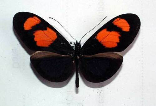 unmounted butterfly HELICONIUS ERATO MICROCLEA