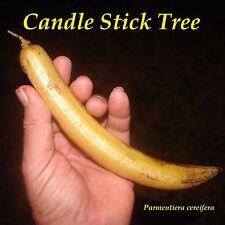 ~Candle Stick Tree~ Parmentiera cereifera EXOTIC PLANT small Starter Fruit Tree