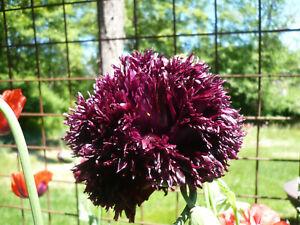 Black-Swan-Somniferum-Poppy-Seeds-1000-Shelley-aka-PoppyQueen