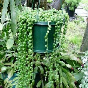 SENECIO-034-String-of-Pearls-034-Succulent-Hanging-Basket-Plant