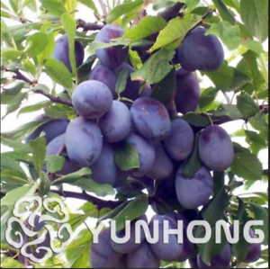 Black-Brin-Plum-10-Pcs-Seeds-Prune-Bonsai-Fruit-Tree-Jardin-Vegetables-Plants-H