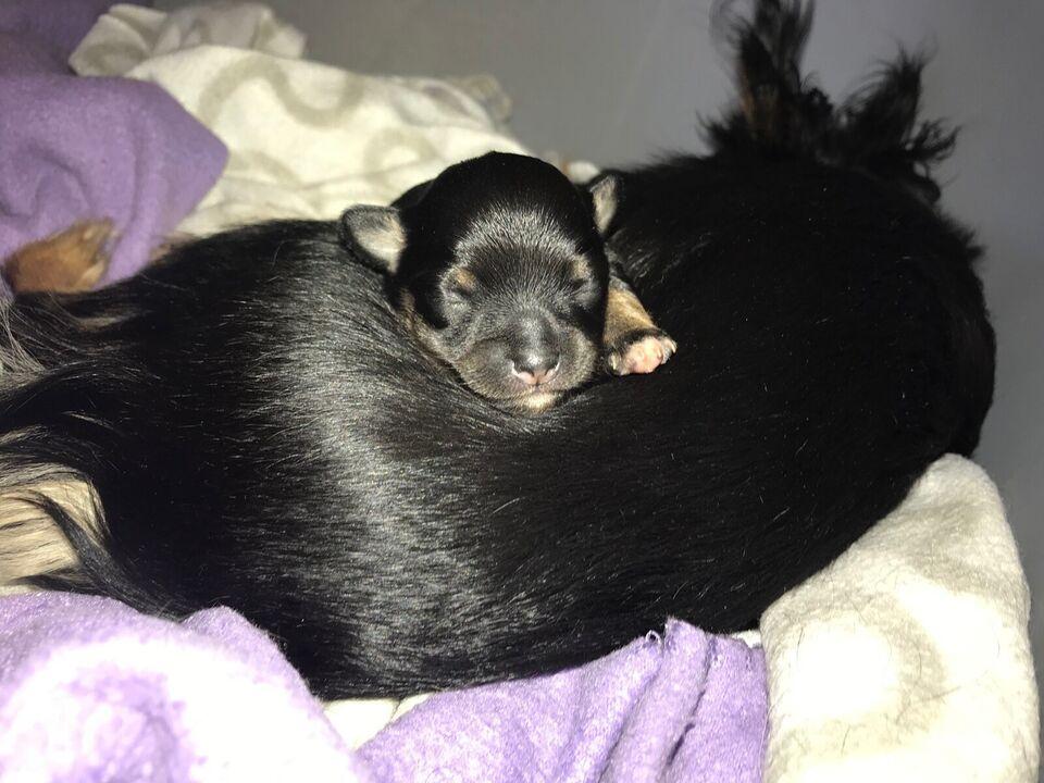 Chihuahua, tæve, hvalp