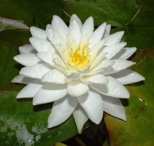 """@//// \\@ Nymphaea : Halbzwerg Seerose /"""" Perry´s Double White /"""" ◕‿◕"""