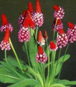 orchideenprimel etwas anderes am teichrand ebay. Black Bedroom Furniture Sets. Home Design Ideas