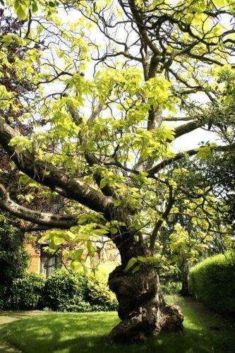Catalpa Bignonioides Indian Bean Tree 25 graines