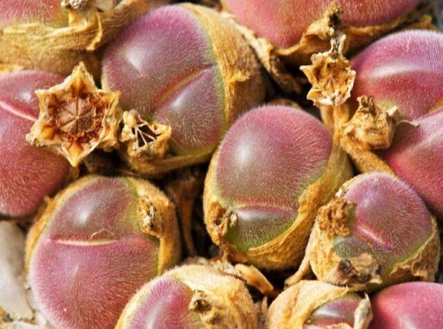 Gibbaeum Pilosulum, exotic succulent rare ice living rocks mesembs seed 20 SEEDS