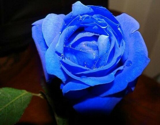 New 50pcs Rose Seed Gifts Black Purple Green Blue Rainbow colors for Lover