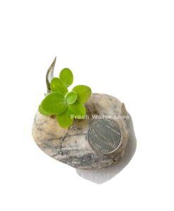 12-foglia-di-lattuga-d-039-acqua-Nano-pianta-galleggiante-per-acquario-bonus-gratuito