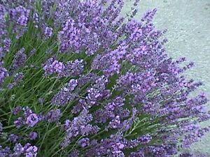 ORGANIC-PERENNIAL-FLOWER-LAVENDER-COMMON-ENGLISH-400-SEEDS