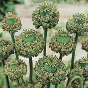 500-Poppy-Seeds-Hens-amp-Chickens-Seeds