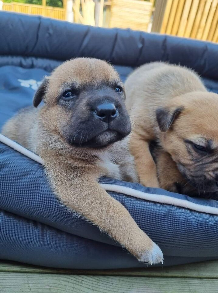 Engelsk Staffordshire Bull Terrier/Schæferhund,