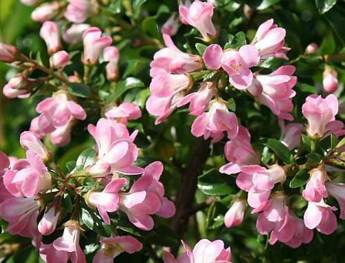 Escallonia Le Blossom Plant Evergreen Shrub Pink Flowers Agm Award