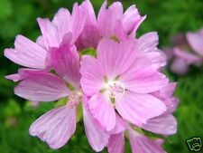 Musk Mallow Seed English Wildflower Cut Flower Adaptable to Soils Frost Tolerant