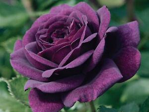 25 Pcs Rare Purple Climber Rose Seeds Perennial Flower Seeds For Garden Decor