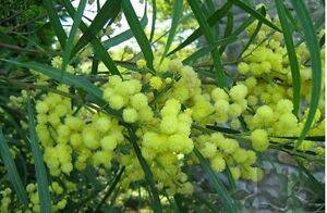 Mimosa acacia bush tree seeds mediterranean exotic plant with image is loading mimosa acacia bush tree seeds mediterranean exotic plant mightylinksfo Images