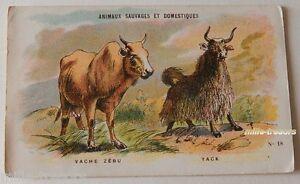 Enthousiaste Chromo Nathan Série Animaux Sauvages Et Domestiques : Vache Zebu Yack PosséDer Des Saveurs Chinoises