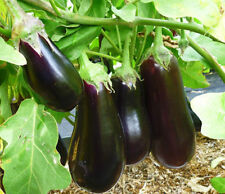 40 Seeds Eggplant seeds Black Opal Heirloom Vegetable Seed from Ukraine