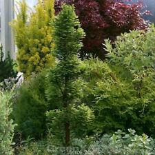 """Taxodium distichum /""""Secrest/"""" 40-60 cm Zwerg Sumpfzypresse auf Stamm"""