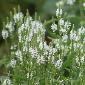 Verbena-hastata-039-White-Spires-039-White-Vervain-Hardy-perennial-50-Seeds