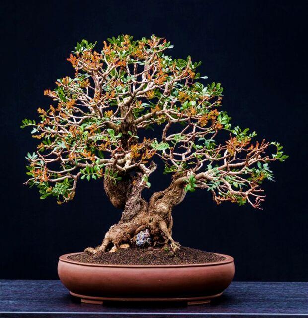Pistacia lentiscus tree bonsai seeds - 50 Seeds