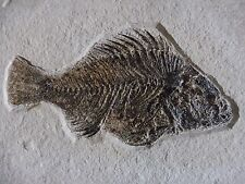 Huge Fossil Cockerellites liops (Priscacara) Fish - USA - Eocene Period