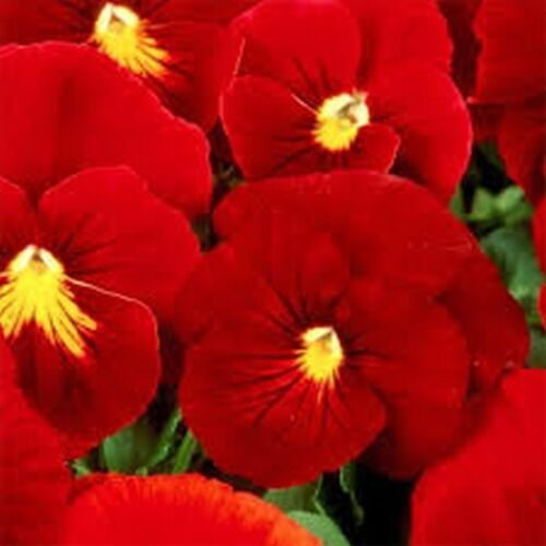 Viola Wittrockiana Clear Crystals Scarlet 50 Seeds Pansy