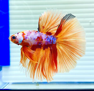 US SELLER (A-Grade) Male Candy Koi Halfmoon Betta imported from Thailand