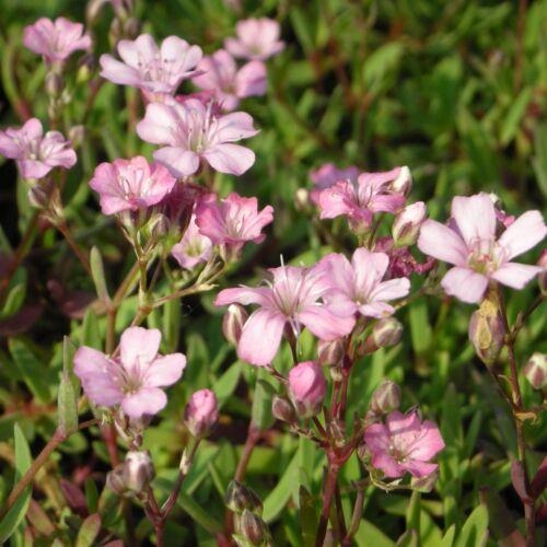 Blumixx vivaces Gypsophila Repens /'Rosea/' Rembourrage-Voile Herbe