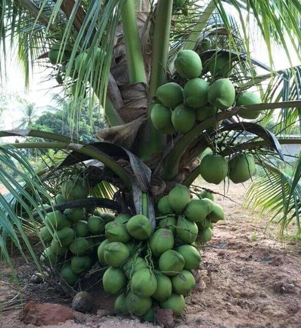 1 Dwarf Coconut palm seed with shoot Tropical Fruit Fagrance juice Palm Tree