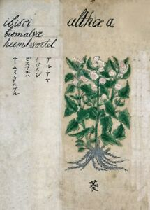 Details About Hibiscus From A Japanese Herbal 17th Century Plant Anatomy Poster
