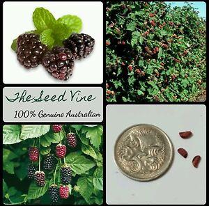 10-ORGANIC-BOYSENBERRY-SEEDS-Rubus-ursinus-x-idaeus-Edible-Fruit-Berry-Shrub