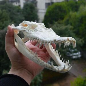 CRANE d'alligator provenant d'une ferme 23 cm , squelette crocodile,os