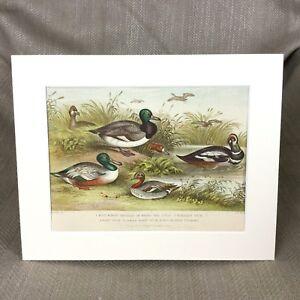 1876 Print Ducks Broad Bill Harlequin Pochard Original Antique Chromolithograph