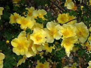 Rosa Xanthina 30 1500 Seeds Fragrant Wild Manchu Yellow