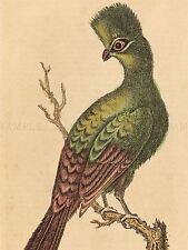 BRITISH 19TH CENTURY GRIFFON VULTURE ZOOLOGY PRINT POSTER BB5033B