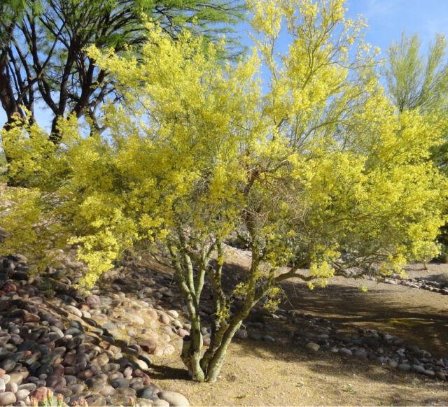 Blue Palo Verde Tree Parkinsonia Floridum 50 Seeds Best Buy Ebay