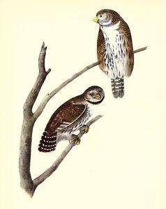 JOHN-JAMES-AUDUBON-1937-BookPrint-PIGMY-OWL-Artwork-Birds-of-America-Painting