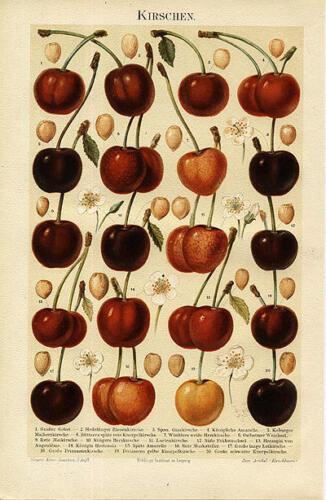 Kirschen Glaskirsche rote Maikirsche  Riesenkirsche 100 Jahre alt Original BBB