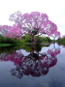 Royal Empress Tree Paulownia tomentosa Seeds eBay