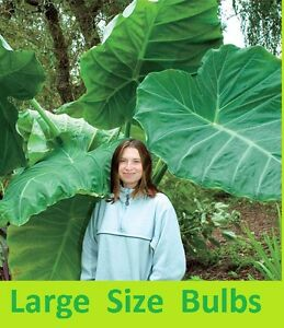 2 Live Roots Giant Elephant Ear Bulbs Colocasia Lg Organic Self