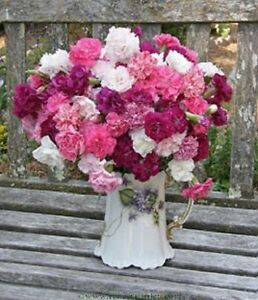 Carnation-Enfante-de-Nice-Mix-Seed-Delightful-Scented-Cut-Flower-Good-Vase-Life