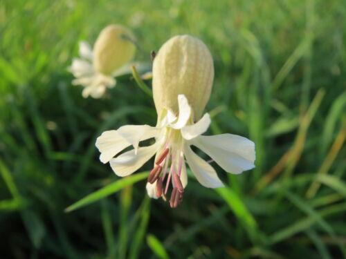 "Silene vulgaris 200 exotische Samen /""ALLES NUR 1 EURO/"" Traubenkropf Leimkraut"