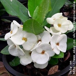Crown Of Thorns Euphorbia Milii Pure White Big Flowers Silver Bells