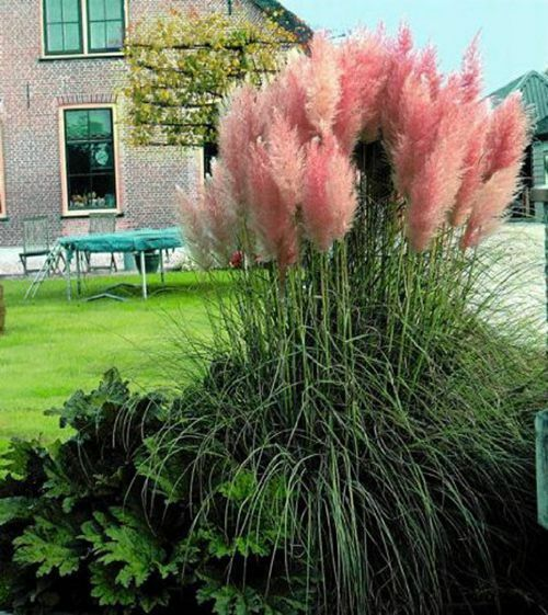 Pink Pampas Grass Seeds Feathery Blooms 50ct Heirloom Ornamental Grass Seeds