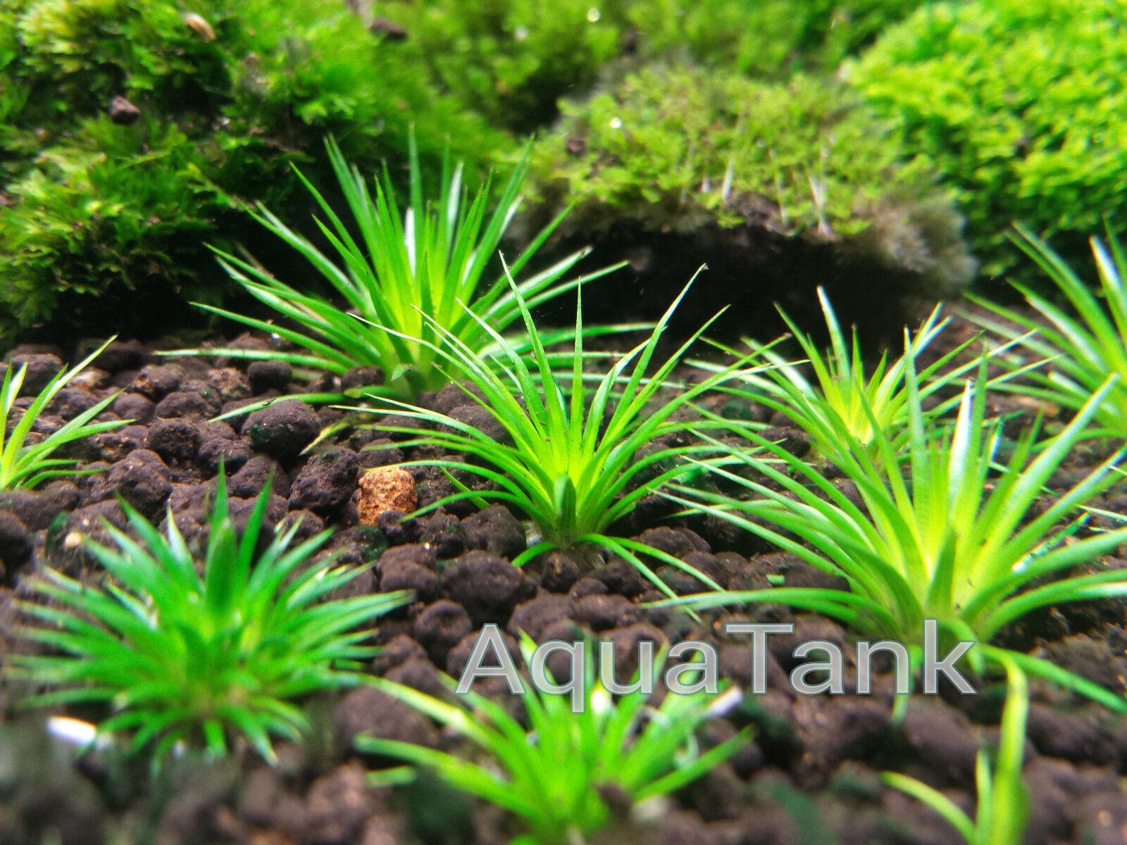 Eriocaulon seeds 16 species     Live Aquatic Aquarium Plants